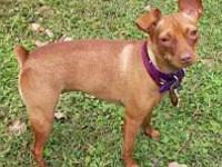 Miniature Pinscher - Gem - Small - Young - Female -