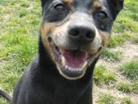 Miniature Pinscher - Georgy Girl - Small - Adult -
