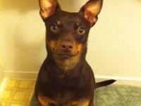 Miniature Pinscher - Hershey - Small - Adult - Female -