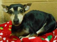 Miniature Pinscher - Iris - Small - Adult - Female -