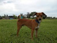 Miniature Pinscher - Jack - Small - Young - Male - Dog
