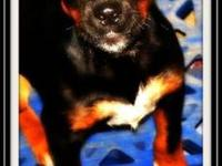 Miniature Pinscher - Jayla - Medium - Baby - Female -