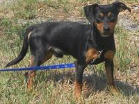 Miniature Pinscher - Koty - Small - Young - Male - Dog
