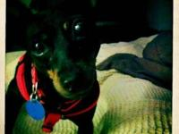 Miniature Pinscher - Lady - Small - Adult - Female -