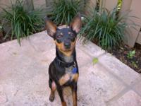 Miniature Pinscher - Leo - Small - Young - Male - Dog