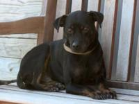 Miniature Pinscher - Lil Bit - Small - Young - Female -