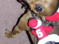 Miniature Pinscher - Little Timmy - Small - Adult -