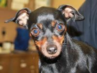 Miniature Pinscher - Maggie - Medium - Young - Female -