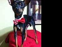 Miniature Pinscher - Mickey - Small - Young - Male -