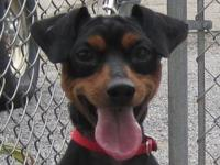 Miniature Pinscher - Miniature Pinscher - Small - Adult