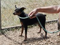 Miniature Pinscher - Minnie Pearl - Small - Adult -