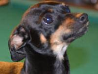 Miniature Pinscher - Mozart - Small - Young - Male -