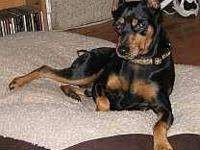 Miniature Pinscher - Nene - Small - Adult - Male - Dog
