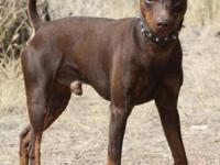 Miniature Pinscher - Peepers - Small - Adult - Male -