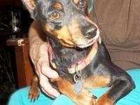Miniature Pinscher - Penny - Small - Adult - Female -