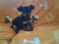 Min pin dog. Purebred. Dewormed. 10 weeks old. Tail and