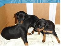 $325.00 Beautiful Reese,(Last pup from the litter) is