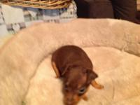 AKC Miniature Pinscher puppies. Rare Chocolate & Rust