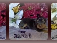 Miniature Pinscher and Harlequin PInscher Puppies ready