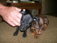 We have one male Min Pin puppy looking for his new