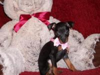 Kylie is a Beautiful Min Pin Female. She has been Vet