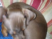AKC Registered Min Pin, small Chocolate & Rust female.