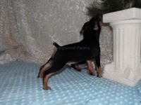 Lovely AKC registered Miniature Pinschers. 5 females, 2