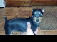 MINIATURE PINSCHER PUPS. AKC reg. 11 weeks. 1- female
