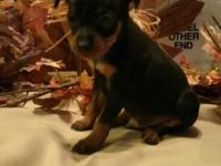 Min Pin Pups.....ready to go home 12/17/14 2 males