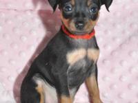 We have a litter of Beautiful Miniature Pinscher pups
