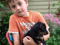 Gorgeous Min Pin Pups, From Monroe, Mi, Going fast 2