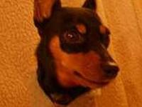 Miniature Pinscher - Remy - Small - Adult - Female -