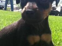 Miniature Pinscher - Roscoe - Small - Young - Male -