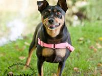 Miniature Pinscher - Rosie - Small - Adult - Female -