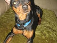 Miniature Pinscher - Roxy - Small - Young - Female -