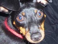 Miniature Pinscher - Sassy - Small - Young - Female -