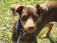 Miniature Pinscher - Shaggy - Small - Young - Male -