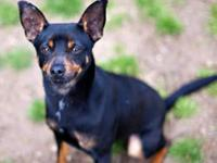 Miniature Pinscher - Teddy Ct - Small - Young - Male -