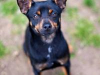 Miniature Pinscher - Teddy Ny - Small - Young - Male -