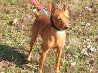 Miniature Pinscher - Tj - Small - Young - Male - Dog To