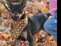 Miniature Pinscher - Toby - Small - Young - Male - Dog
