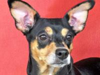 Miniature Pinscher - Vienna - Small - Adult - Female -