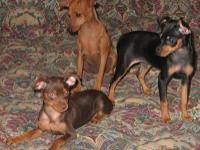 AKC/CKC, shots/wormed. Different colors, ages, sizes, &