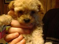 Four week miniature poodle looking for a good home will