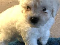 Cream males and females miniature poodle puppy with
