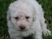12 week old loving male min poodle has had 1st round of