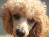 Fun loving energetic 4 yr old male Poodle for sale.