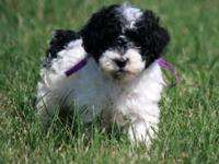 Paris is a black and white Miniature Poodle. She was