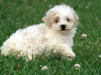 Meet our little girl, Karma. She is a Miniature Poodle