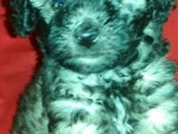 Mini Poodle pup. Male. Dewormed, first vaccinations,